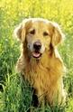 Faithful puppy dog eyes - 200