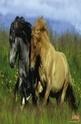 Iceland Ponies - 200