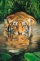 Indian Tiger - 1000
