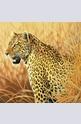Proud Leopard - 1000