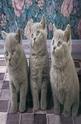 Three Kittens in Grey - 1000